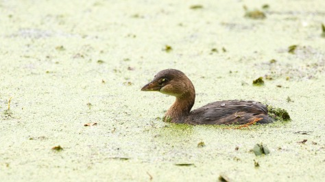 Close Up, Pied-billed Grebe