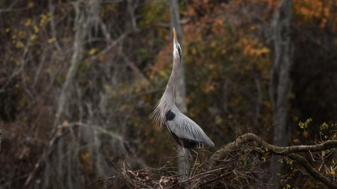 Calling For A Mate, Great Blue Heron