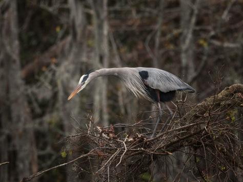 Impatience Heron