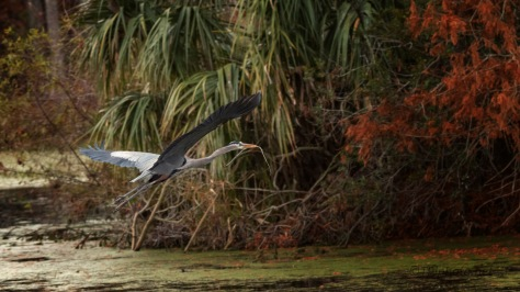 Great Blue Heron In A Fall Swamp