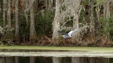 Through A Swamp, Great Blue