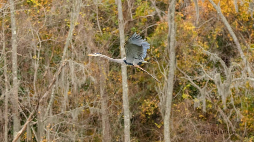 Great Blue In Fall Colors