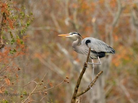 Guarding A Nest Spot, Heron
