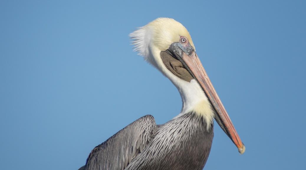 Posing Pelican