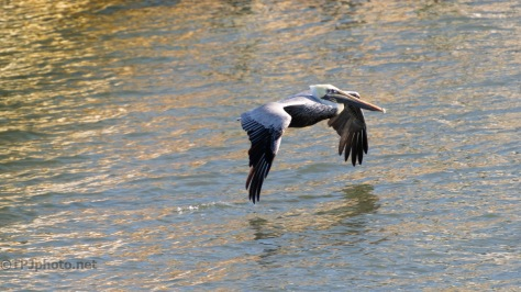 Brown Pelican On A Breeze