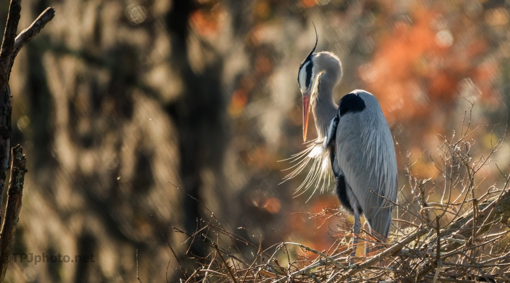 Great Blue Heron, A Bit Of Fall