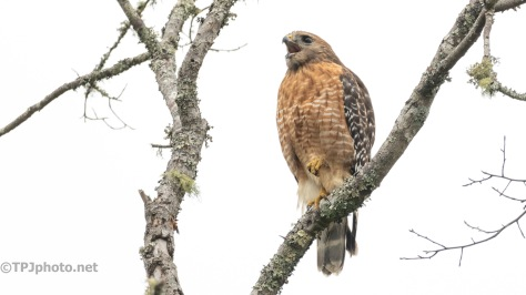 A Loud Red-shouldered Hawk