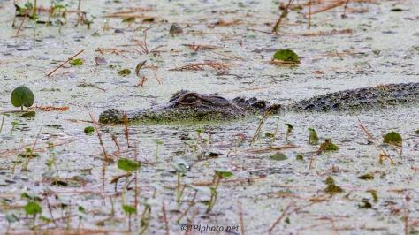 Lurking, Alligator