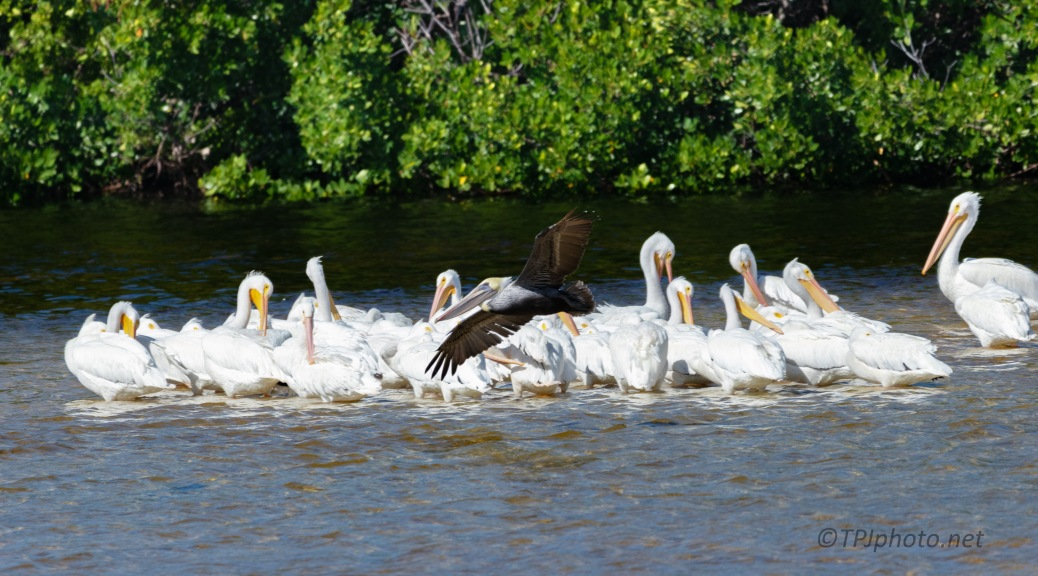 The Same But Different, Pelican