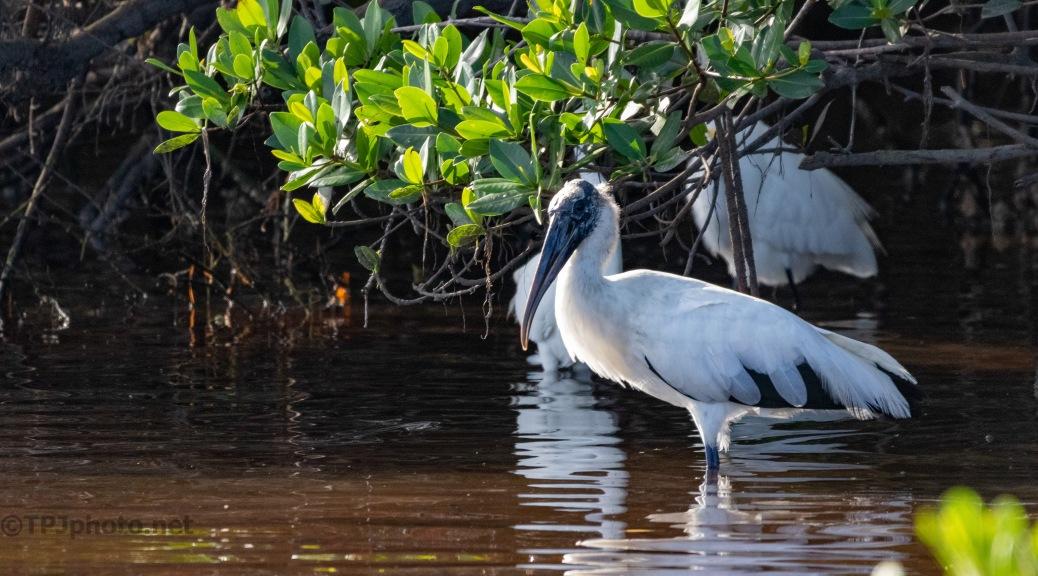 Hiding In A Mangrove, Wood Stork