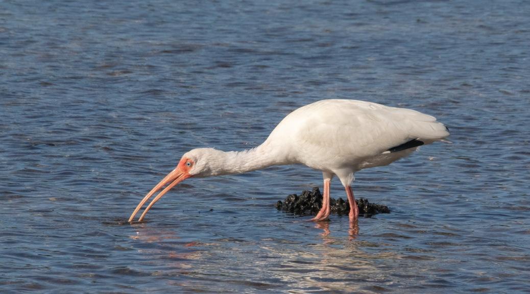 White Ibis Working Low Tide