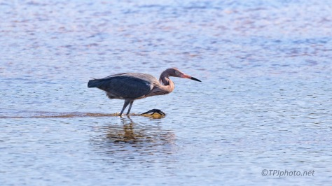 Found One, Reddish Egret