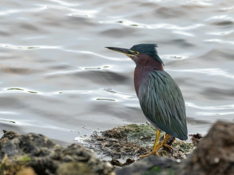 Green Heron In A Salt Marsh