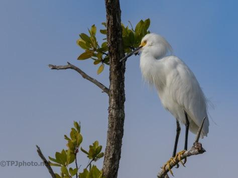 Portrait, Snowy Egret