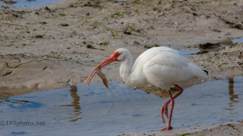 White Ibis With A Shrimp Catch