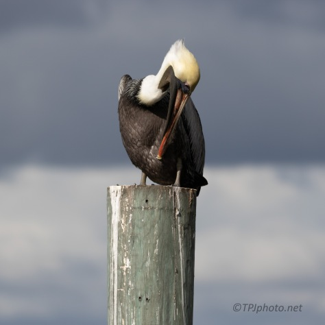 Storm Coming, Pelican
