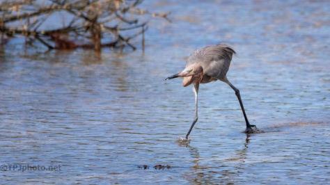 Drama, Reddish Egret Style