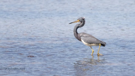 Tricolored Heron, A Little Mad About Something