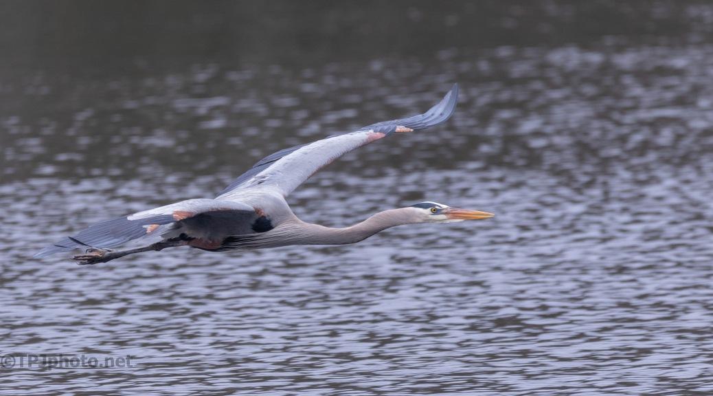 Great Blue Heron Down Low