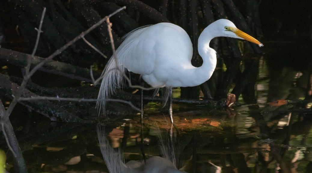 Great Egret, Mangrove Swamp