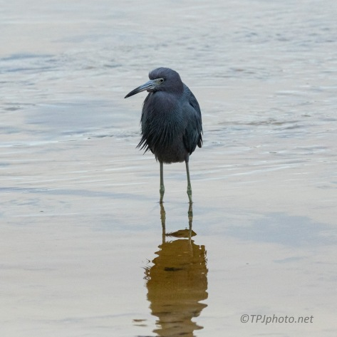 Little Blue Heron, Cloudy Morning