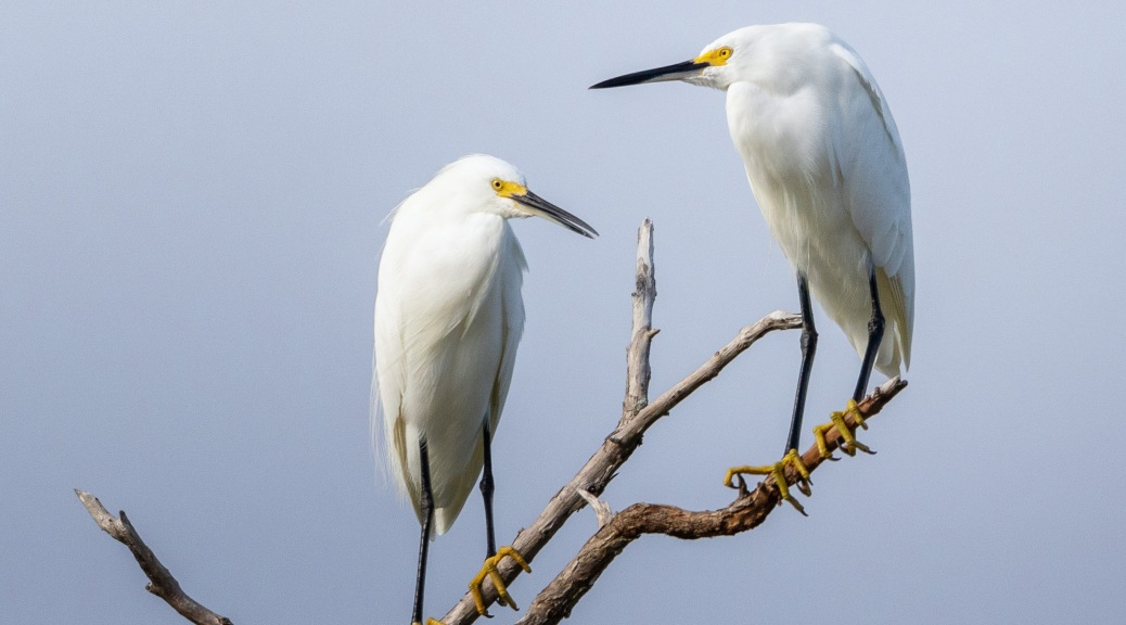 Pair Of Snowy Egrets
