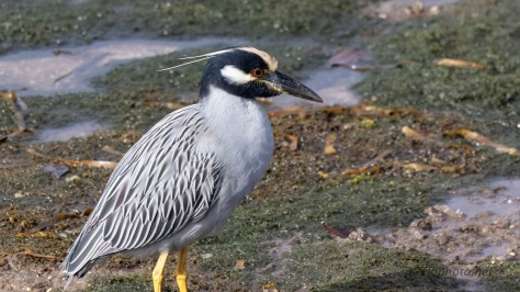 Night Heron Cooperating
