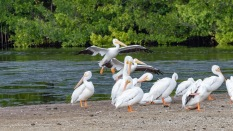 Pelicans Coming To The Sand Bar