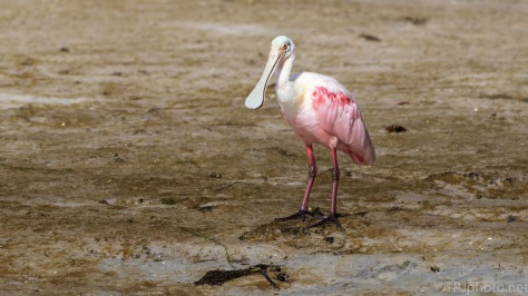 Roseate Spoonbill, Low Tide
