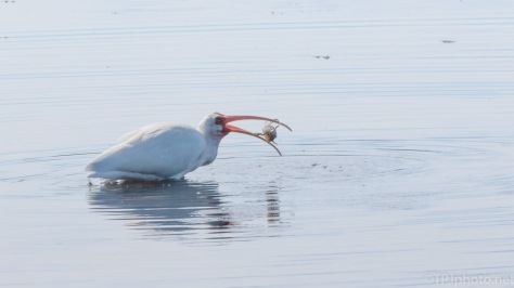 A Very Successful Hunt, Ibis