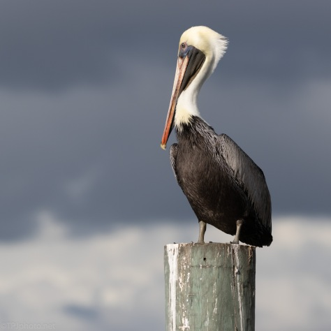 Picture Perfect Pelican