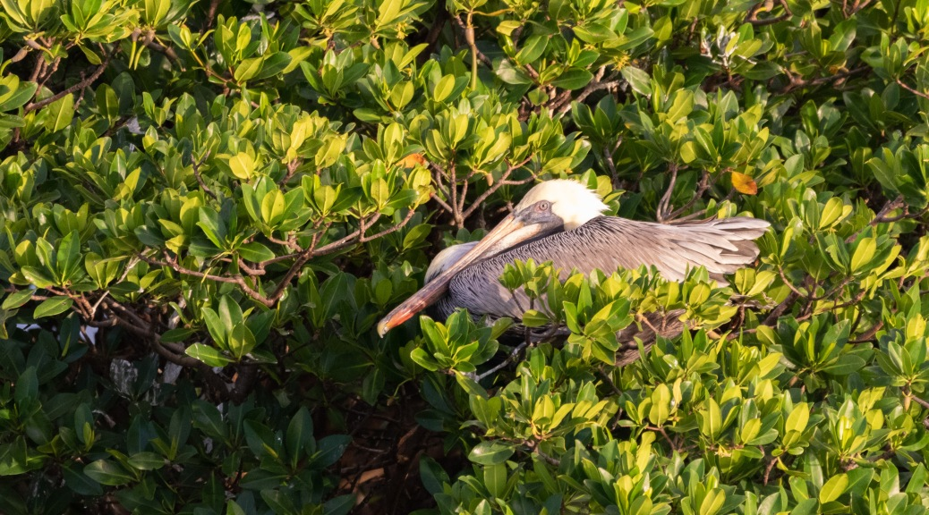 Rookery In Tarpon Bay, Pelican