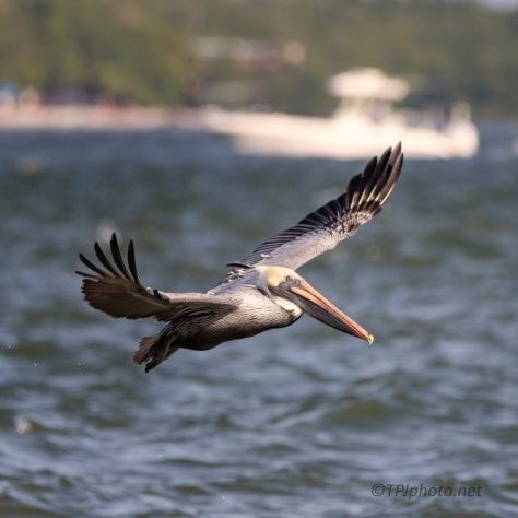 Tide Going Out, Pelican
