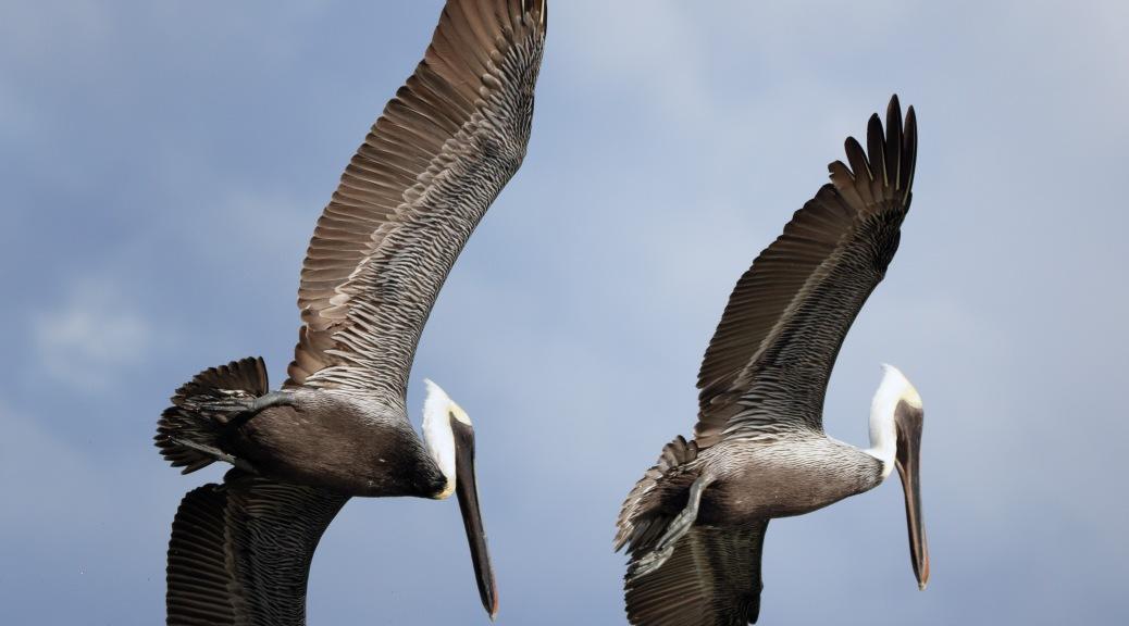 Synchronized Flying, Pelican