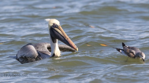Pelican And His True Enemy
