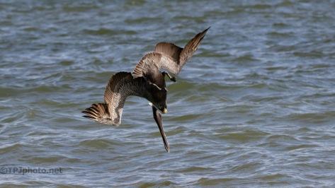 A Brown Pelican Dive