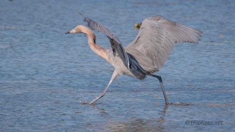 Dancing For His Dinner, Reddish Egret
