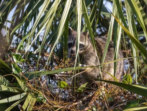 Raiding Party, Raccoon