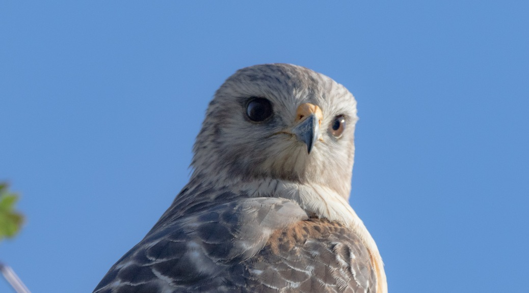 Comparing Red-shouldered Hawks