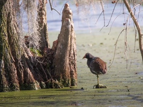 Trying To Blend In, Gallinule