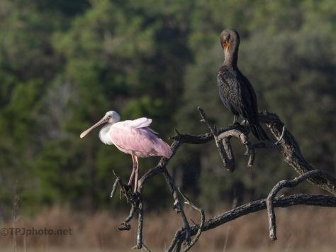 A Truce, Spoonbill And Cormorant