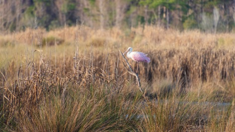 Pink In The Marsh, Spoonbill