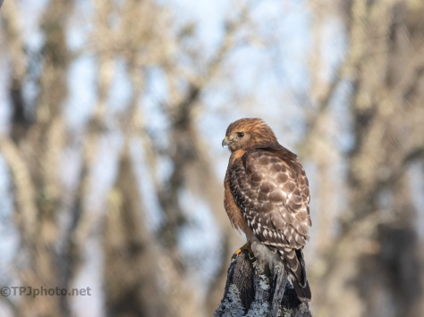 Comparing Red-shouldered Hawks