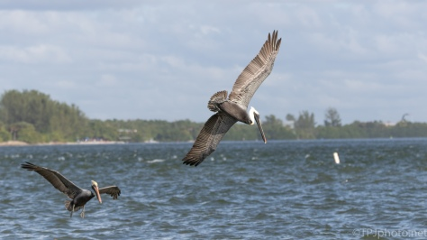 Working The Tide, Brown Pelican