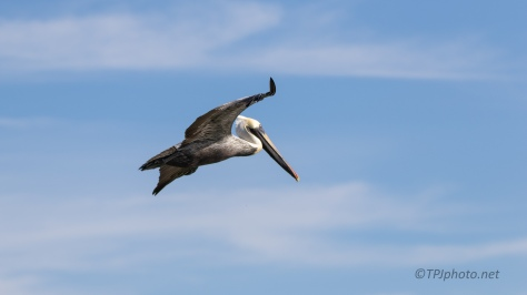 Anatomy Of A Dive, Brown Pelican