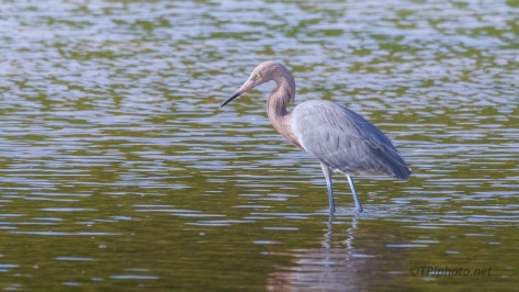 Captures Of A Reddish Egret