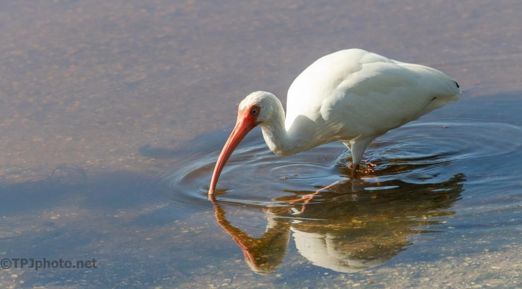 Digging Around, White Ibis