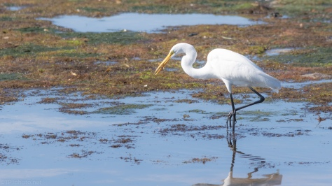 Great Egret With A Small Treasure