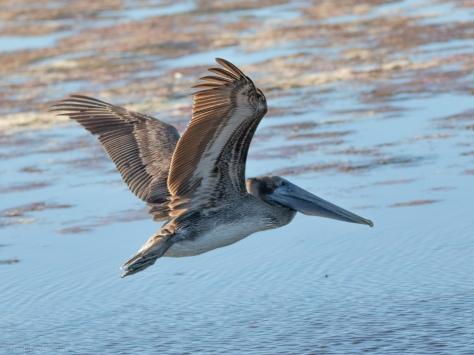 Pelican And A Salt Marsh