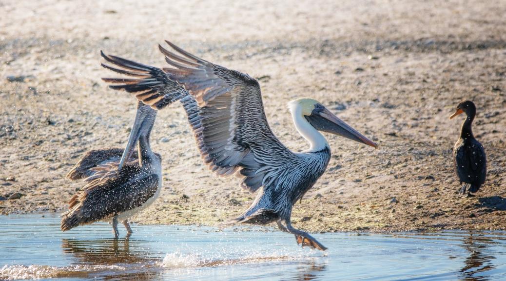 A Splash, Pelican